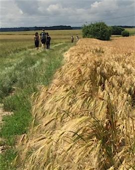 champs blé